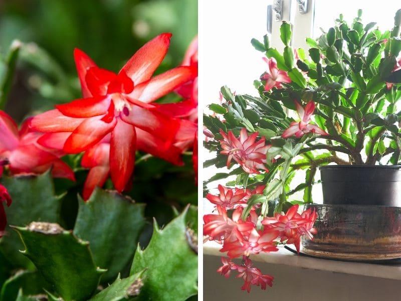 cactus de noël eau de pluie jardin