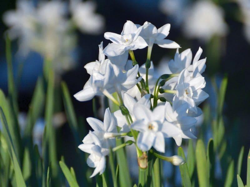 fleurs eau de pluie jardin narcisse
