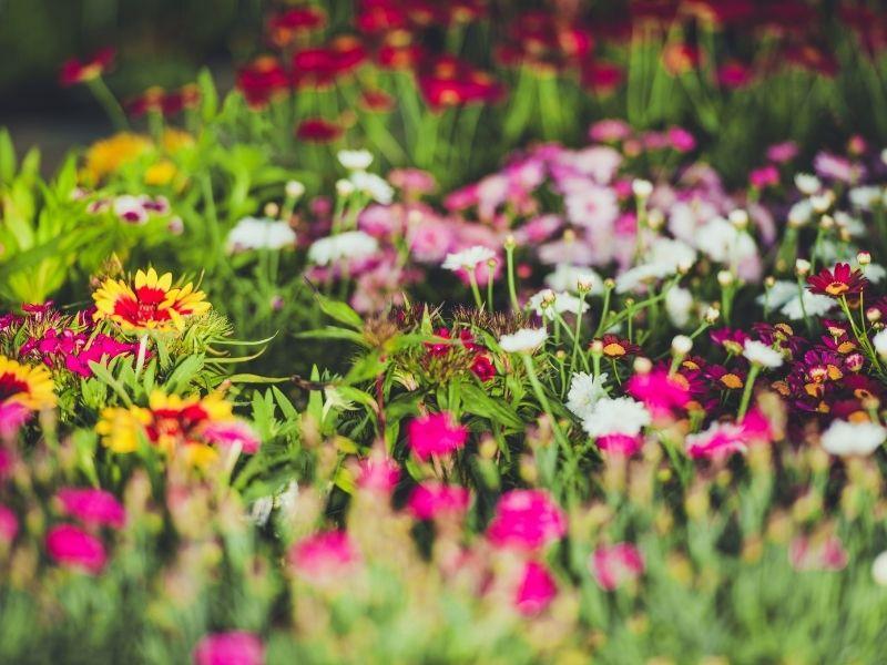 fleurs et semis de printemps